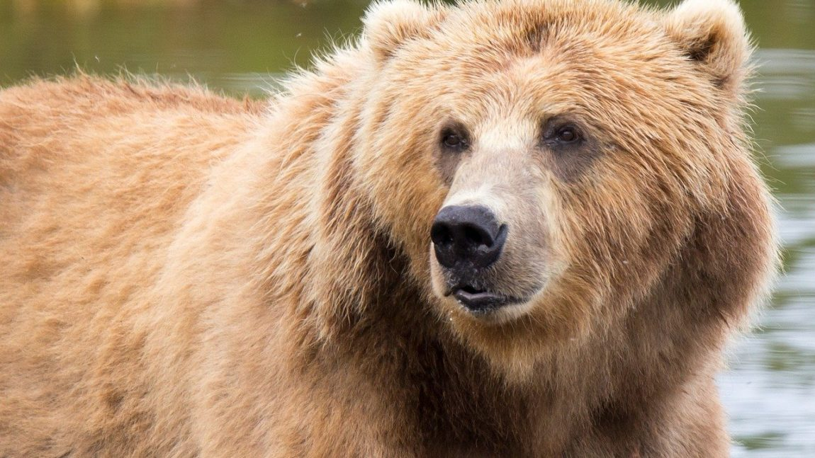 L'ours brun d'Europe