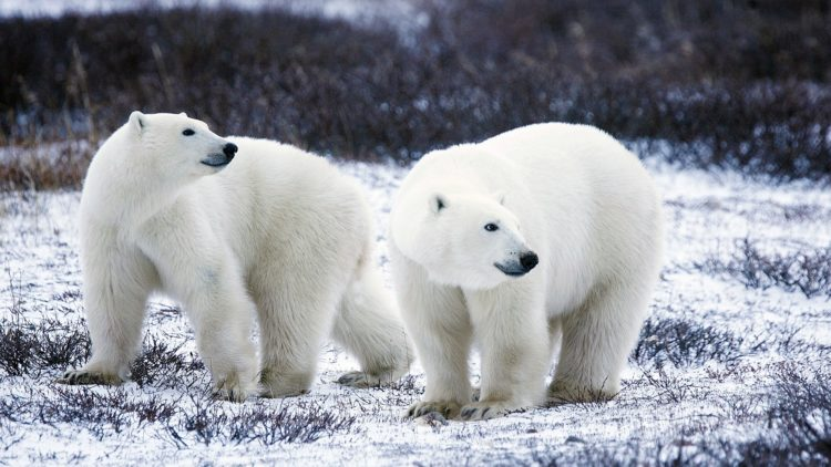 L'ours blanc ou ours polaire